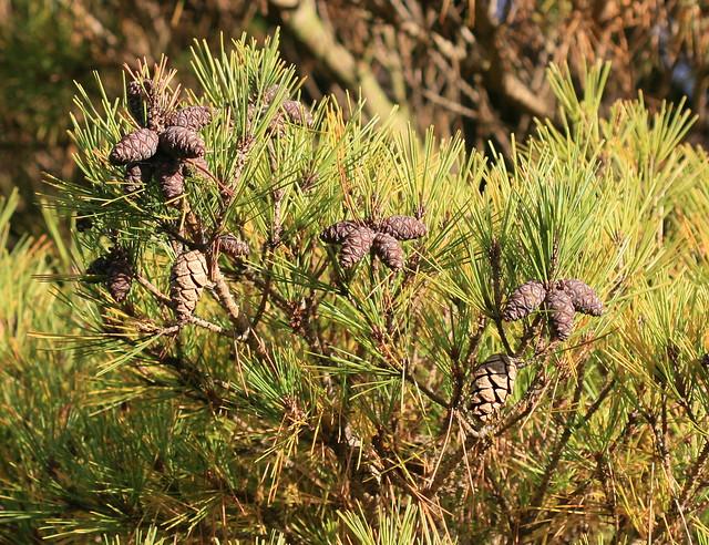Pinus densiflora 'Pumila' (Japanese Red Pine)