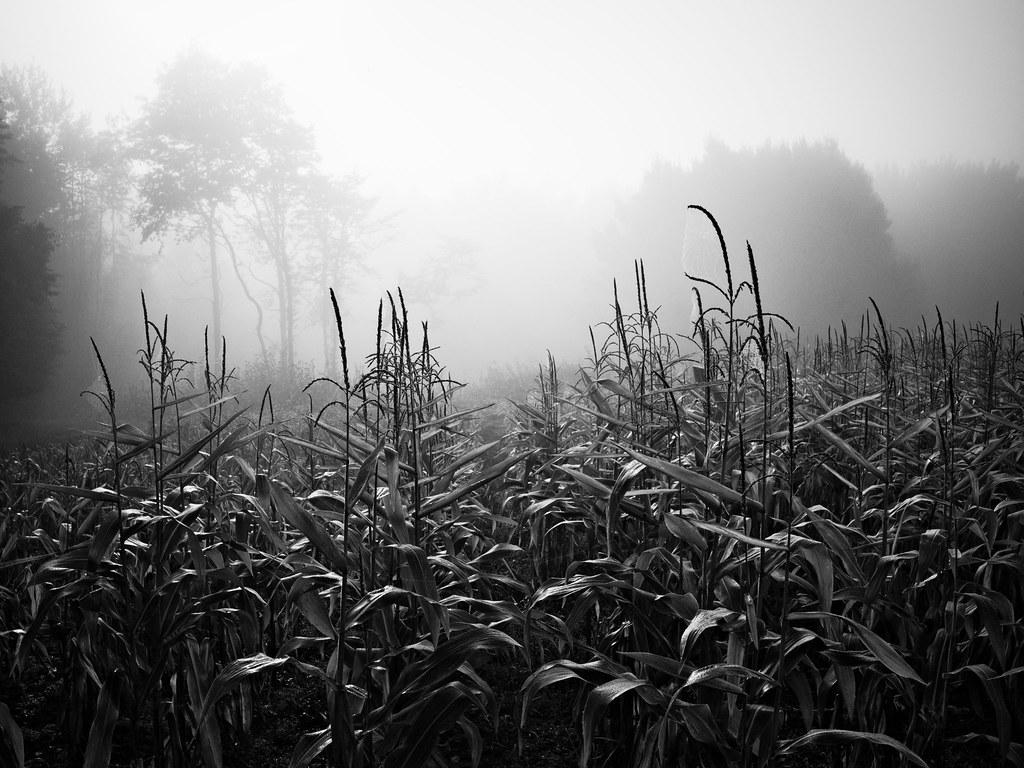 Fog in the corn field. 22027999072_b3d85b7165_b