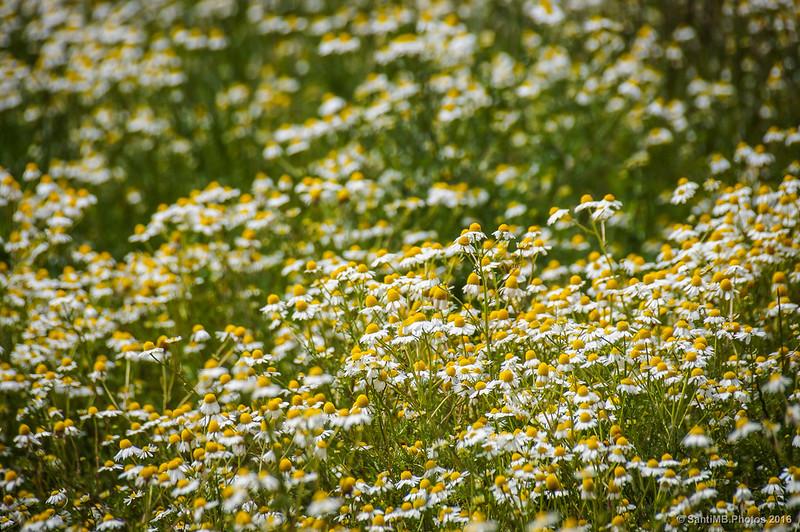 Flores de manzanilla en Cerdanyons