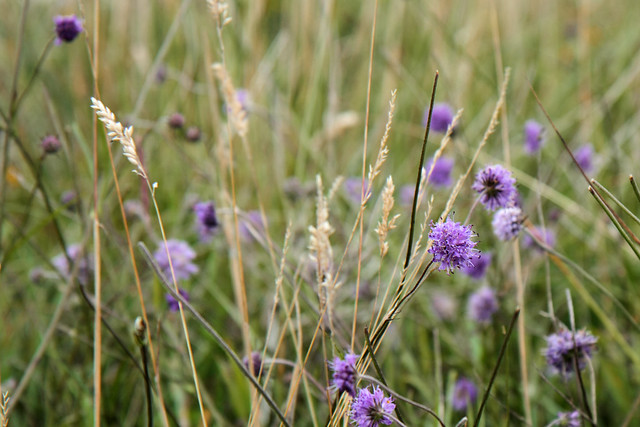 Wild scabious flowers