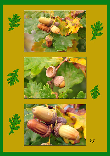 Herbst herbstlich Eiche Stieleiche Stiel-Eiche Quercus robur Früchte Fruchtstand gestielt Stiel Foto Brigitte Stolle Oktober 2015
