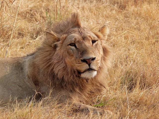 León macho en Moremi (Botswana)