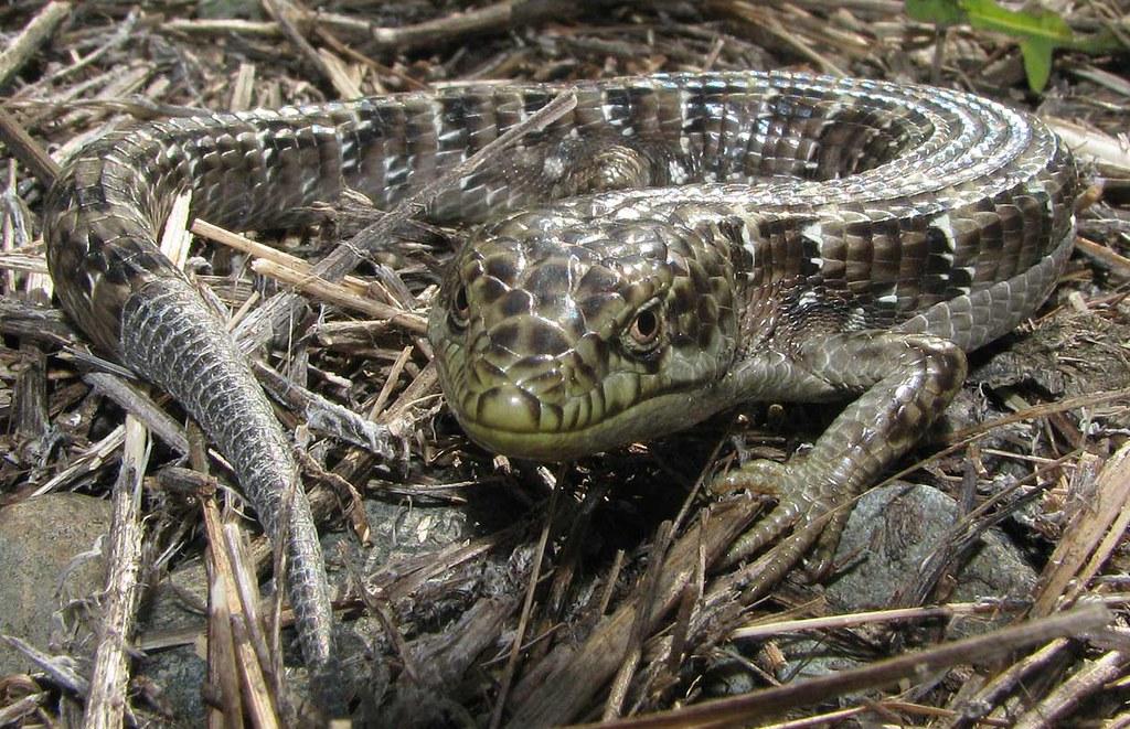 Southern alligator lizard elgaria multicarinata cdfw for California department of fish and wildlife jobs