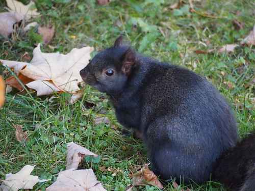 fat black squirrel