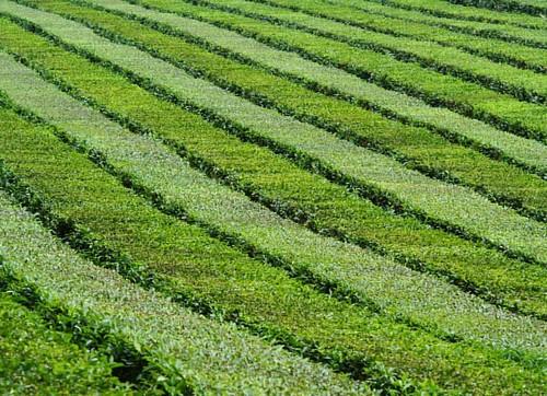 Настоящая чайная плантация! by Mikhail Khusid