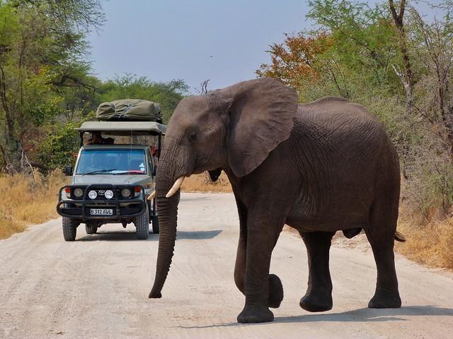 Un elefante pasa por delante de un coche de safari móvil en Botswana