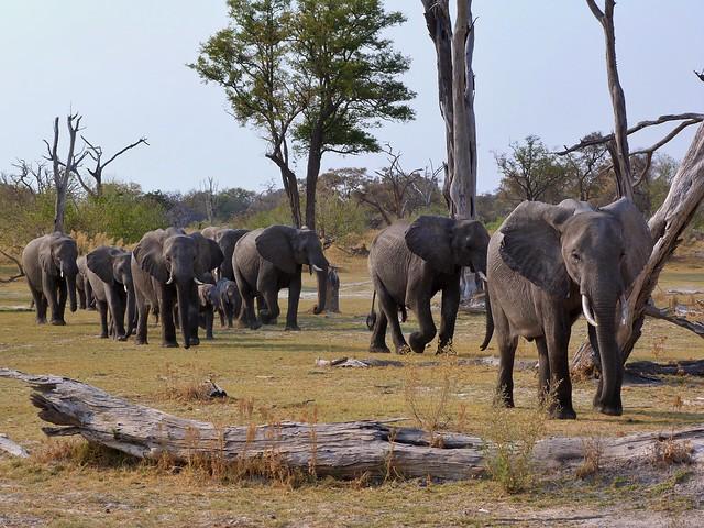 Elefantes en Moremi (Animales que ver en Botswana)