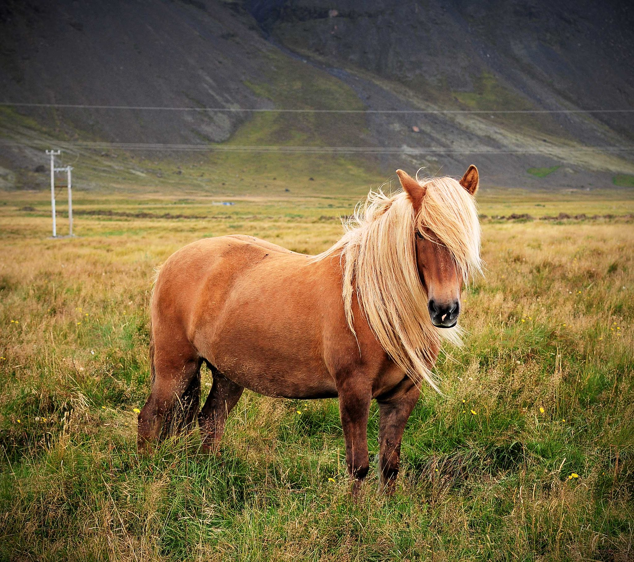 All he wants is Islandic poneys