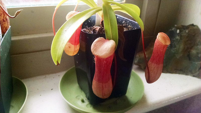 Nepenthes ventricosa.