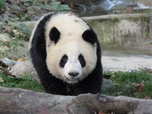 Oso Panda en Chengdú (China)