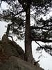Le grand pin à la brèche de l'arête S de Punta Buvona