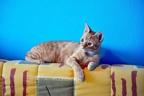 Jerry, gatito rubio guapo muy dulce y bueno, esterilizado, nacido en Abril´15 en adopción. Valencia. ADOPTADO. 20828328453_2f621ca316