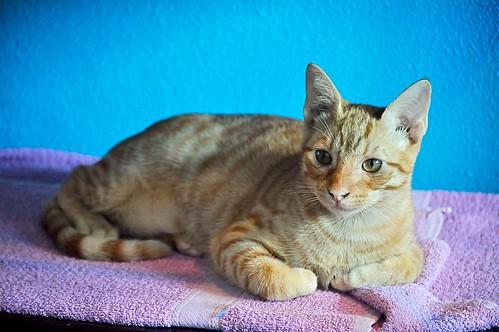 Jerry, gatito rubio guapo muy dulce y bueno, esterilizado, nacido en Abril´15 en adopción. Valencia. ADOPTADO. 21423299686_2c4f290e91