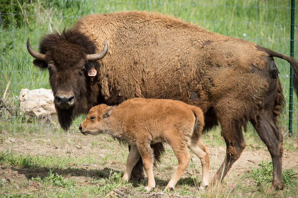 A Surrogate Mother Bison Standing Guard Over Her New Baby