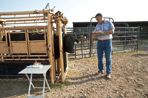 Veterinarian inspecting cattle