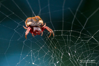 Orb weaver spider (Aspidolasius branick) - DSC_1486b