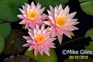 Waterlelie Myra / Nymphaea Myra