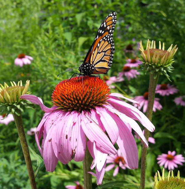 monarch standing on the center of a flower, its wings folded closed