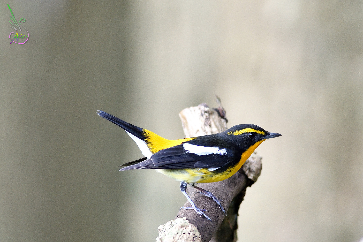 Narcissus_Flycatcher_8172