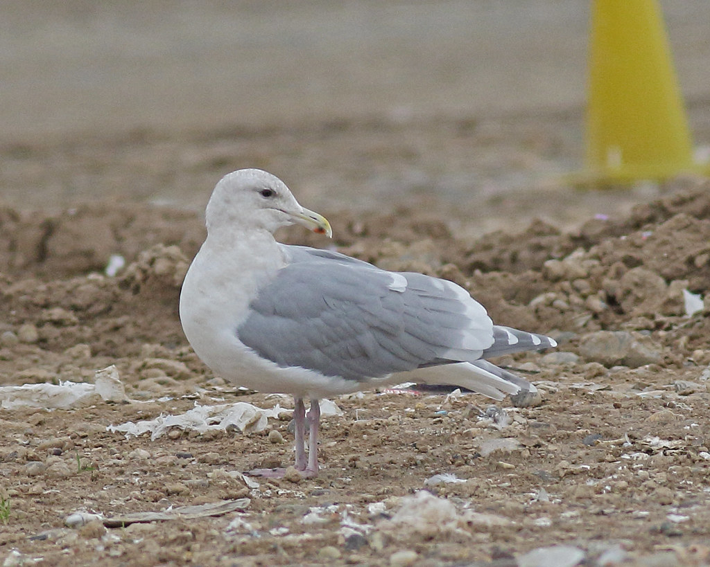 Are Adult sea gull amusing