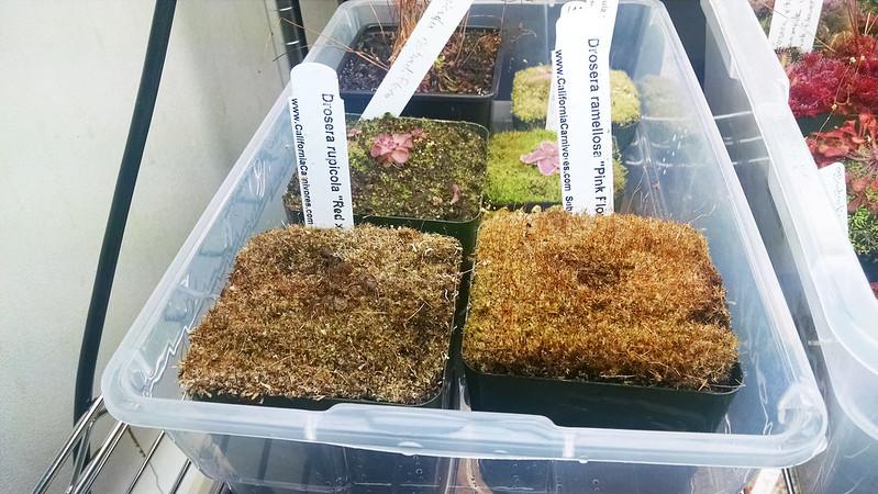 Drosera ramellosa and Drosera rupicola.