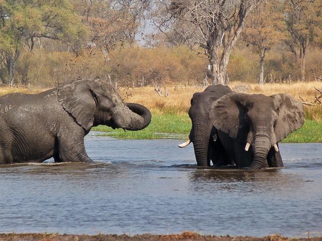 Elefantes en el río Kwai fotografiados durante un viaje de safari en Botswana