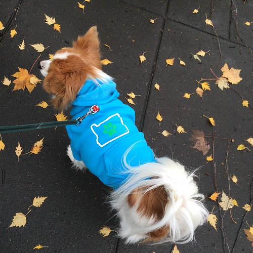 Happy looking away from the camera in his blue Oregon heart hoodie. It shows it off better.