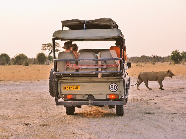 Una leona pasa por delante del todoterreno de Mopane Game Safaris (Botswana)
