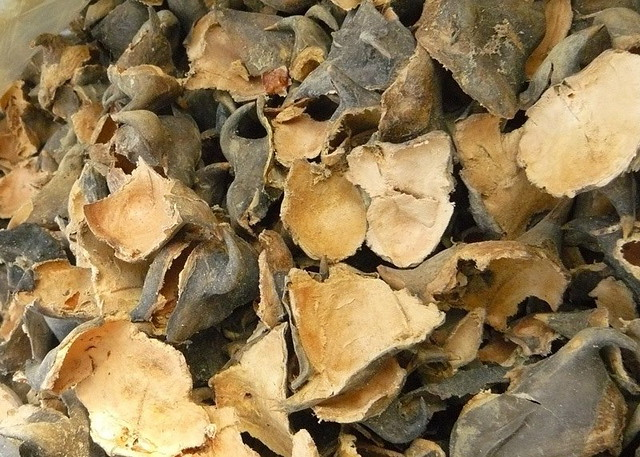 菱角殼。圖片來源:林務局