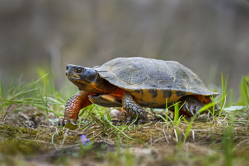 Turtle walking over grass in the wild