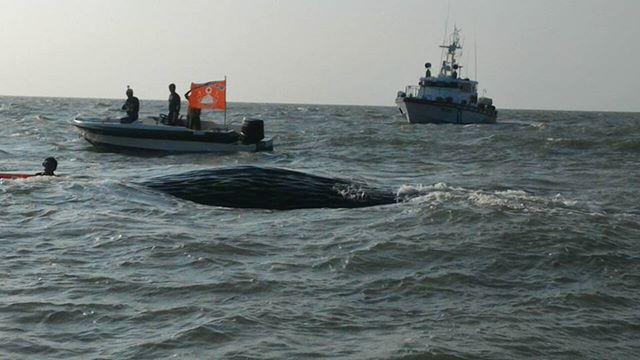 往西邊拖約1浬遠,耗時1個半小時到達水深約7公尺處的布袋商港北堤附,解開繩索讓牠慢慢回歸海洋,海巡隊派一艘船艇人員保護監測。圖片擷取我們的島