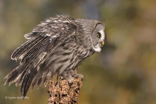 Great Grey Owl D50_4616.jpg