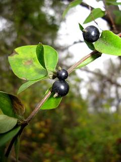忍冬果實。圖片來源:維基百科