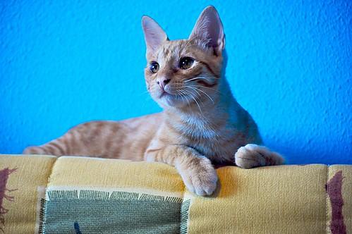 Jerry, gatito rubio guapo muy dulce y bueno, esterilizado, nacido en Abril´15 en adopción. Valencia. ADOPTADO. 20826623204_eac073e12c