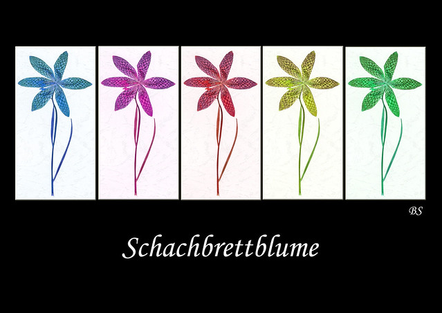 Schachblume Schachbrettblume Kiebitzei Fritillaria meleagris