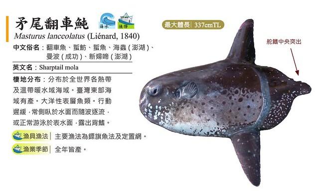 矛尾翻車魚尚未列入危險等級,但不適合過度捕食。