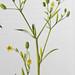 Blaartrekkende boterbloem / Cursed buttercup / Ranunculus sceleratus
