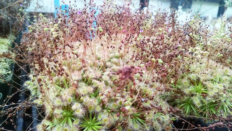 Drosera omissa × pulchella.