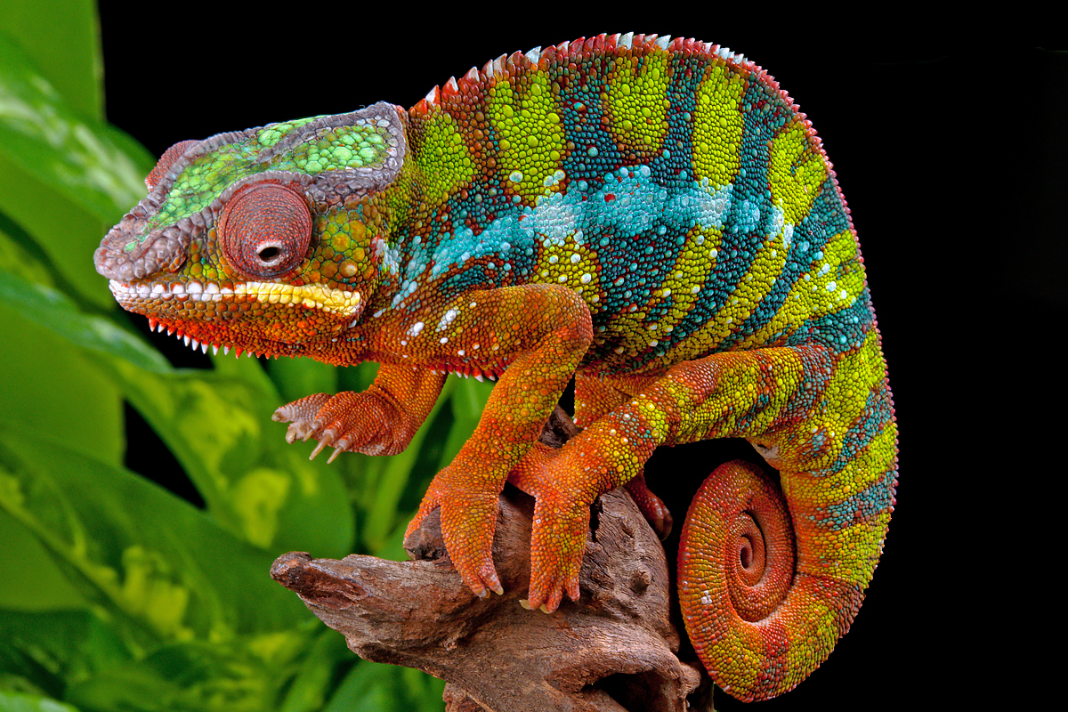 Pdf Evidence Of Spatiotemporal Planning In A Panther Chameleon