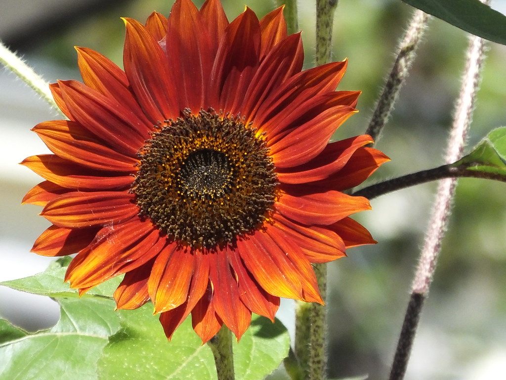 Red Sun Sunflower | Red Sun Sunflower are exceptional cut ...
