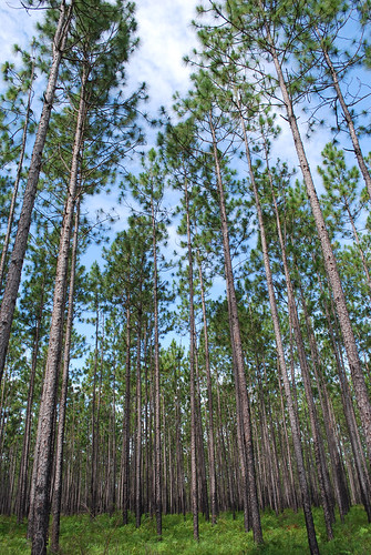 Longleaf pine stand located in the Coastal Headwaters Forest