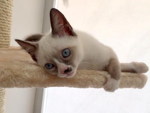 Musa, gatita Snowshoe extrovertida y activa nacida en Agosto´15, en adopción. Valencia. ADOPTADA. 22097859651_fb4f2a4eca