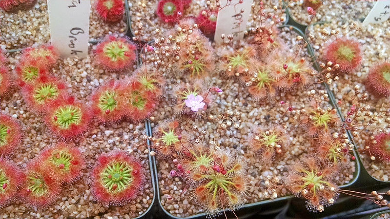 Drosera omissa with flower.