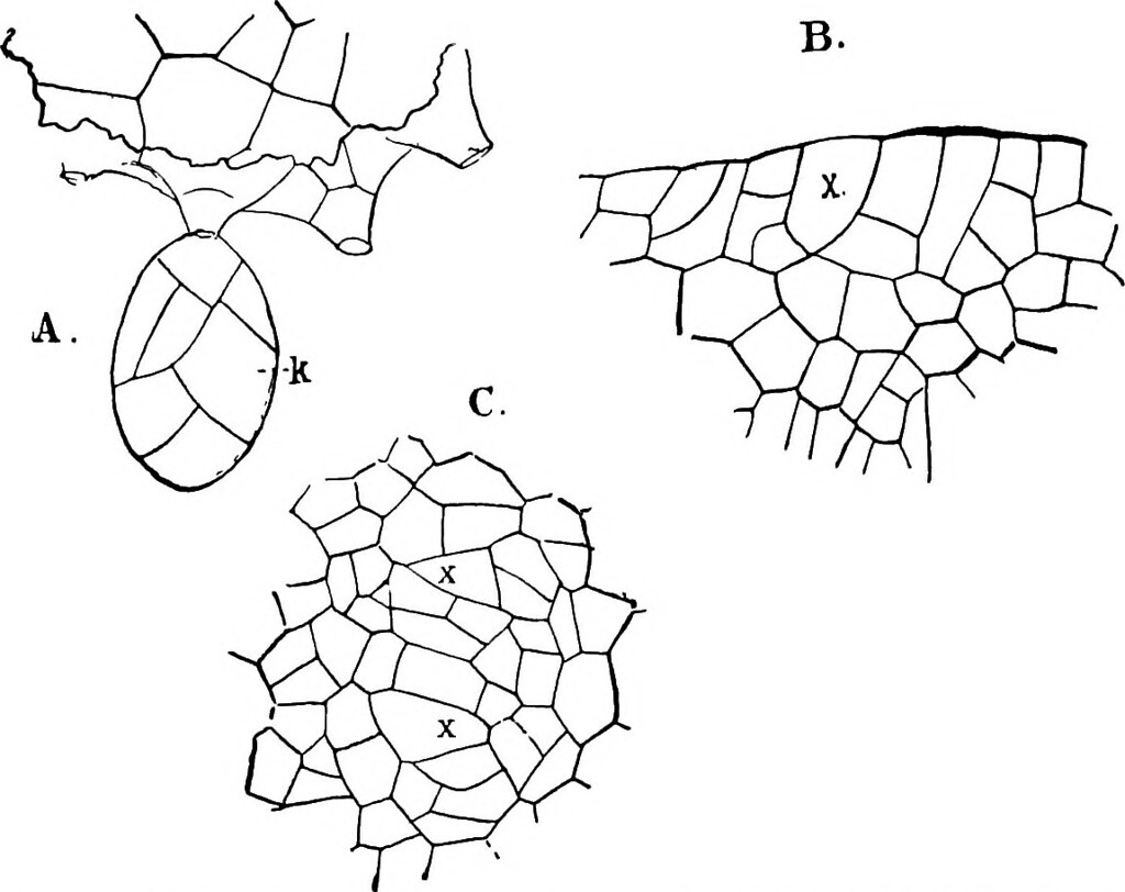 image from page 519 of the structure and development of m flickr Non Flowering Plant Diagram