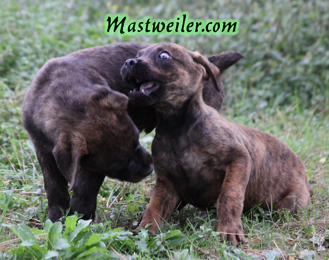 Mariah & Remington Pups (Brindle Pups Available and Ready Now!)