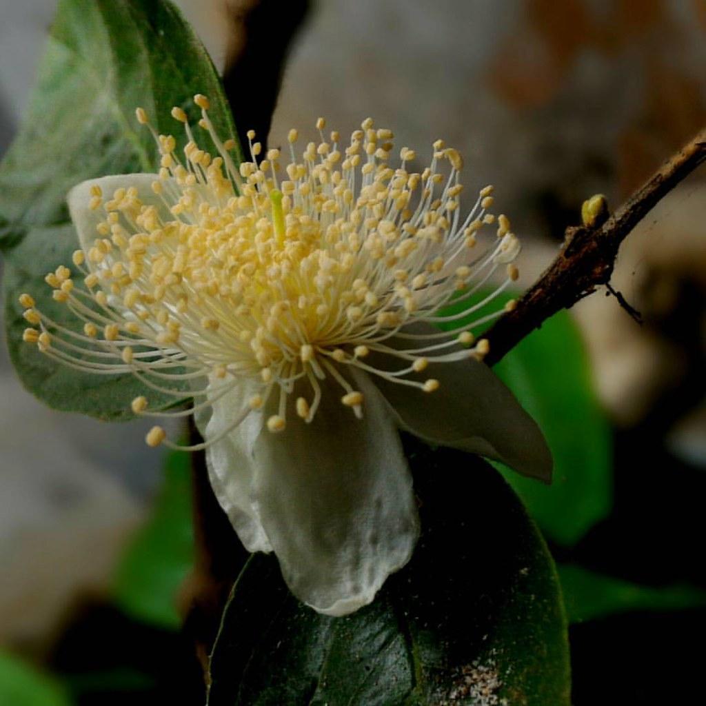 Jambu Kristal masih berbunga di musim #kemaraupanjang  #macro #kamerahpgw #asus #zenfone #asuszenfone2  #eksploretasikmalaya #tasikmalaya