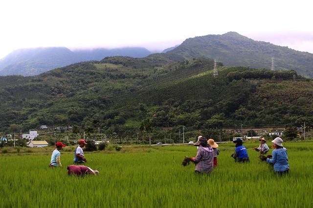 由賴萌宏號召富興社區的農民,投入「米農該」生產,並邀請候鳥回家。攝影:廖靜蕙
