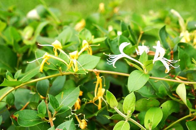 忍冬除了白、黃雙色的花之外,它的藤狀莖(中藥名為忍冬籐)亦是具藥用活性的部份。圖片攝影:王升陽。