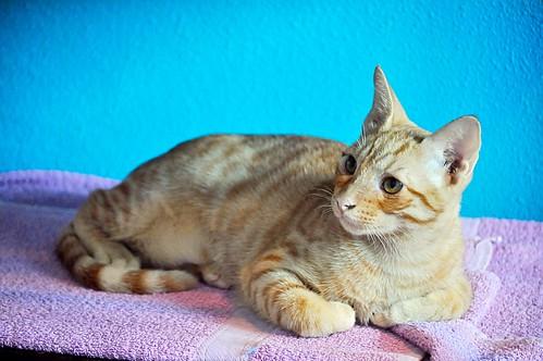 Jerry, gatito rubio guapo muy dulce y bueno, esterilizado, nacido en Abril´15 en adopción. Valencia. ADOPTADO. 21423299606_17e0e6e0da