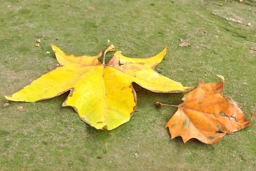 Herbstlicher Spaziergang im Schlosspark Neckarhausen, 29. Oktober 2016 ... Blattverfärbungen, Pilze, Eibe, Pfaffenhütchen, Ginkgo, Schneebeeren, Schnecken in der Ruhephase ... Fotos und Collagen: Brigitte Stolle 2016
